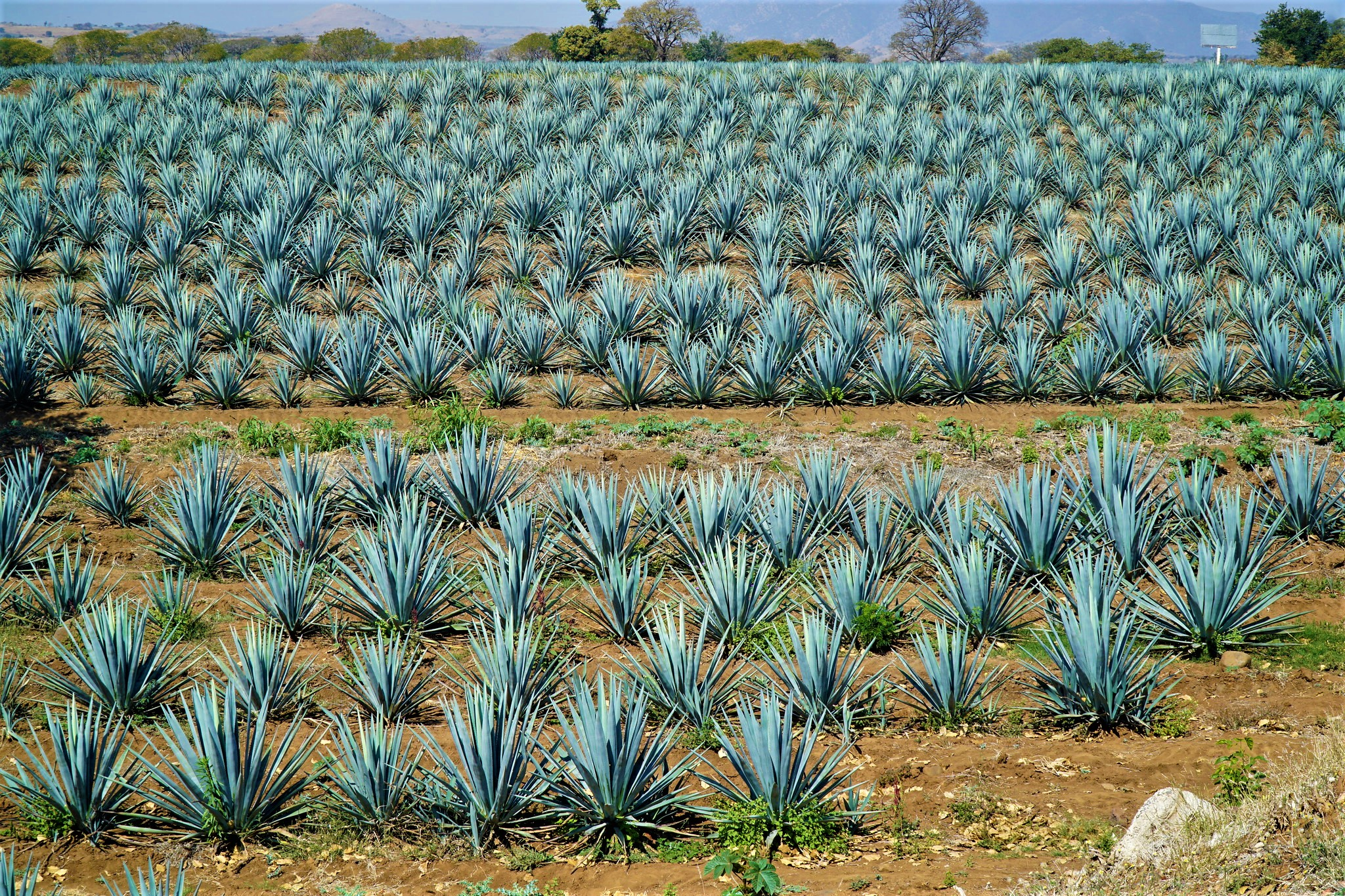 We Drink Tequila in Tequila (Mexico)